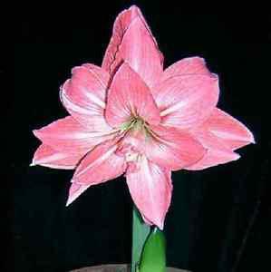 Pink Potted Flowers Rare Amaryllis Bulbs,Hippeastrum Bulbs