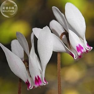 Cyprus Cyclamen Hederifolium Seeds, professional pack, 6 Seeds, white rose pink
