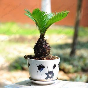 Bulk seed potted cycas, foliage plants purify the air cycads tree 100% true seed