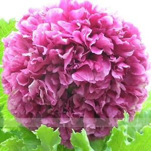 Heirloom Purple Chinese Peony Flower Seeds, 1 Professional Pack, 5 Seeds / Pack
