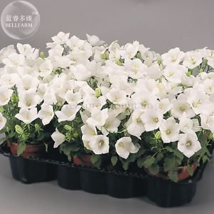 Campanula Carpatica 'White Clips' Perennial Flowers, professional pack, 50 Seeds