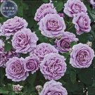 Light Purple Rose Tree, 50 Seeds, Professional Pack, big blooms strong fragrant