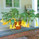 Bonsai Tree seeds 30pcs DWARF Brugmansia Angel Summer Dream angels Trumpets