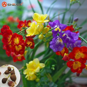 Freesia Bulbs Indoor Potted Flowers Orchids,Freesia Rhizome (it is not seed)