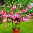 Bonsai Tree seeds 30pcs DWARF Brugmansia suaveolens Flamenco angel's Trumpets!