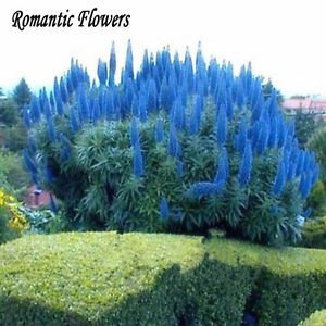 50 Particle/bag Rare Blue Pampas Grass Seeds Flower Garden Potted Ornamental