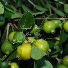 RARE Seeds 7 Tropical Guava Fragrant White Blooms All Year  Psidium friedrichsthalianum