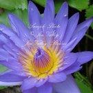 10 seeds Nymphaea nouchali stellata Blue Star Lotus Water Lily Seeds Aquatic Plant