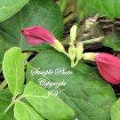 5 seeds Rare! Canavalia maritima Baybean Beach Bean Tropical Perennial Vine