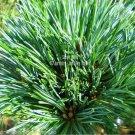 10 seeds Pinus koraiensis Korean Pine Tree Seeds Perfect for Bonsai and Standard Specimen