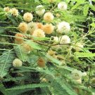 10 Tropical plant seeds!  Albizia guachapele Mimosa Seeds Vigorous Specimen or Bonsai Yellow Flower