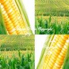 100 seeds Golden X Bantam Sweet Corn Seeds! Sweet and Juicy Home or Market Gardening