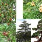 10 seeds  Pinus banksiana Jack Pine Tree Seeds short Needles Bonsai or Standard Gardening