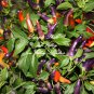 10 Seeds Rainbow Chile Hot Pepper Seeds vibrant colors of small fruit Garden / Ornamental