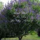 20 seeds  Vitex angus castus Tree Seeds Chaste Stunning Show of Purple Blooms Aromatic