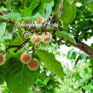 7 seeds Leichhardt Tree Rare patio tree drought tolerant bright yellow flowers Mitragyna Parvifolia
