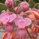 7 seeds Cassia grandis Pink Shower Tree Seeds Ornamental Tropical Plant
