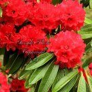 8 Seeds RhododendronRhododendron barbatum Profusion of early Red Flowers Zone 8+ or Container