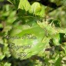 10 seeds  Solanum undatum var violaceum Ornamental Asian Nightshade Seeds Purple Flowers