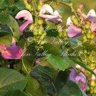 5 seeds Rare! Canavalia gladiata Sword Bean Seeds Ornamental Tropical Vine pink -  purple Blooms