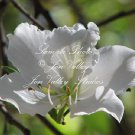 8 seeds Bauhinia alba Love Tree Seeds! Big Fragrant Bloom Small tree Compact Houseplant