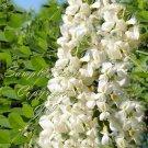 10 seeds Sophora japonica Styphnolobium japonicum Japanese Pagoda Tree Bonsai RARE Seed