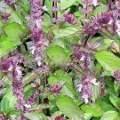 App 200 Seeds Basil Seeds Cinnamon Non GMO Aromatic Herb Market or Home Gardening
