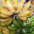 5 seeds Musa acuminata Growers Favorite Rare Banana Plant Seeds Container Tropical