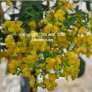 15 Seeds  Buttercup Tree Cassia corymbosa Seeds Drought Tolerant Dripping Wax Looking Pods