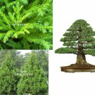 10 Seeds Red Japanese Cedar 30 Seeds Cryptomeria japonica Makes good Bonsai rugged aged look