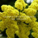 10 Seeds Acacia baileyana Golden Mimosa Fast Grower Container Gardening Bonsai - Standard