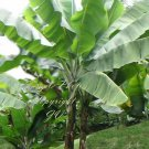 5 seeds Musa sikkimensis Red Tiger Banana Tree Seeds Cold Hardy Purple Green Leaves