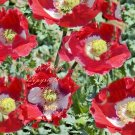 App 100 + Premium seeds! Danis Flag annual wildflower Red and White Beauty Attracts Butterflies