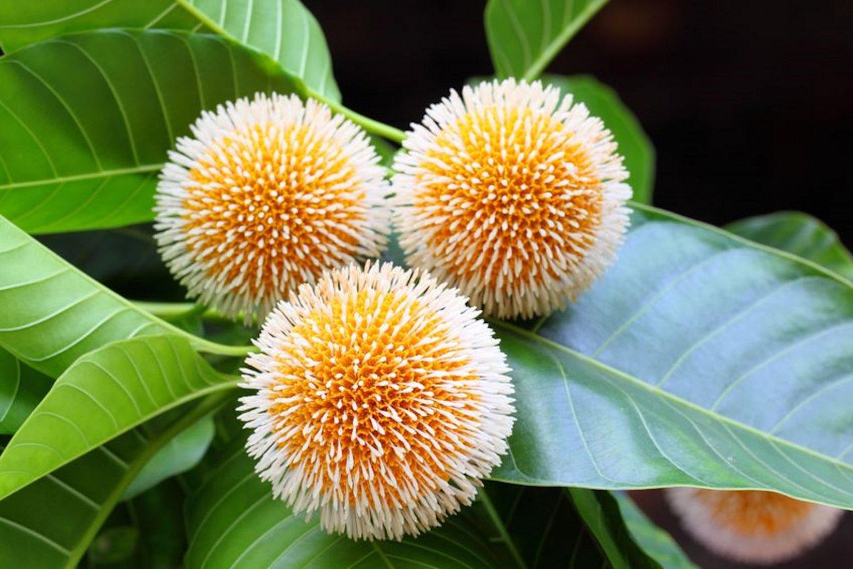 20 Tropical Seeds! Neolamarckia cadamba Kadam Tree Seeds Aromatic Orange Flowers Butterfly Friendly