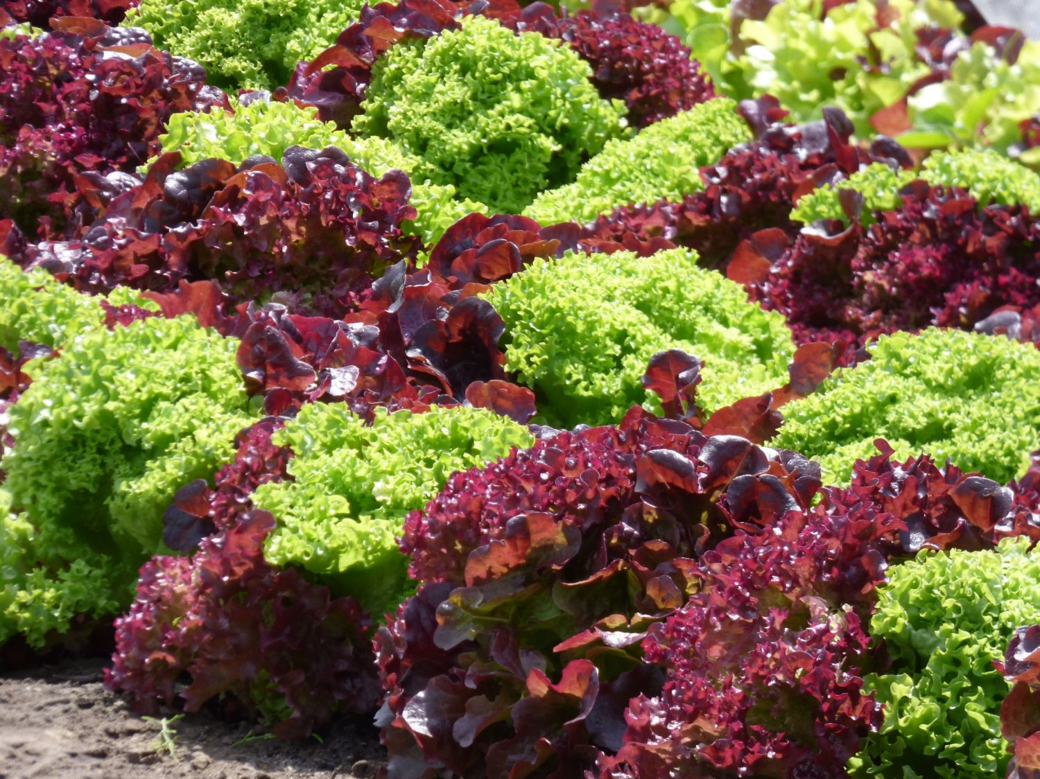 250 Seeds Salad Bowl Red + Green Variety Heirloom Lettuce mix- Garden Vegetable- Top Quality