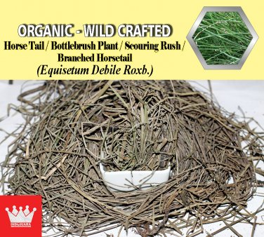 3 Oz / 84g Horse Tail Bottlebrush Plant Branched Horsetail Equisetum Debile Organic Wild