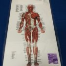 One [1] Anatomical Chart Company Muscular System Clipboard 8946PCB