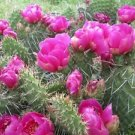 Winter Hardy Prickly Pear Opuntia Cactus Magenta Colored Blossoms!!!