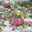 AMAZING WINTER HARDY PRICKLY PEAR OPUNTIA GOLD MEDAL CACTUS COLLECTION SALE!!!