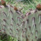 COLD HARDY OPUNTIA PRICKLY PEAR CACTUS, RUFFLED MULTI PETALED PINKISH FLOWERS!!
