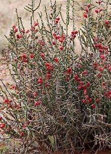 Winter Hardy Shrub Cactus Cylindropuntia Leptocaulis, Chartreuse Fl, 3 For 1