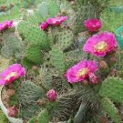Winter Hardy Opuntia Prickly Pear Cactus Var Purple Mesa!!!