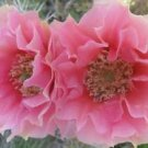 Winter Hardy Opuntia Prickly Pear Cactus Large  Ruffled Pink Cream Blossoms!!!