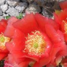 Winter Hardy Prickly Pear Cactus LARGE TANGERINE ORANGE BLOSSOMS!!!