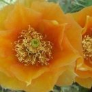 Winter Hardy Prickly Pear Cactus RUFFLED YELLOW FADE ORANGE BLOOMS 3 For 1 Sale!