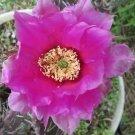 Winter Hardy Opuntia Prickly Pear Cactus Magenta Flower, Purple Pads!!!