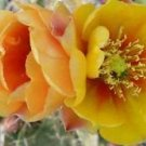 Winter Hardy Opuntia Prickly Pear Cactus Yellow Fade Orange Flower!!!