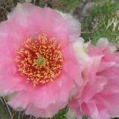 Winter Hardy Prickly Pear Opuntia Cactus Ruffled Pink Cream Blossoms!!!