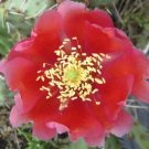 Winter Hardy Prickly Pear Opuntia Cactus BEAUTIFUL REDDISH FLOWERS!!!