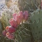 Winter Hardy Prickly Pear Opuntia Cactus EDIBILE PINK FRUIT EMERGENCY SURVIVIAL